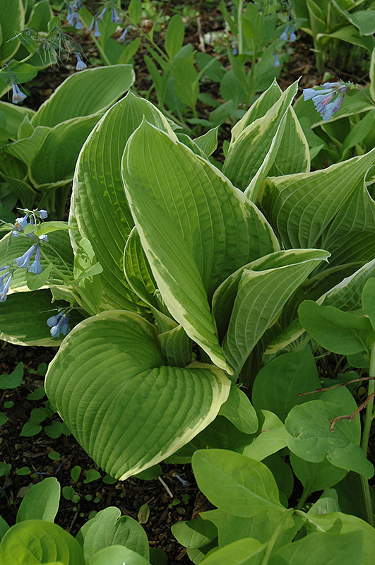 Red Alert Hosta Hosta Red Alert In Frankfort Chicago St Johns
