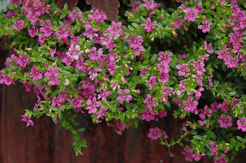 Itsy Bitsy Lilac False Heather Cuphea Hyssopifolia Monshi In Frankfort Chicago St Johns Tinley Joliet Orland Illinois Il At Alsip Home And Nursery