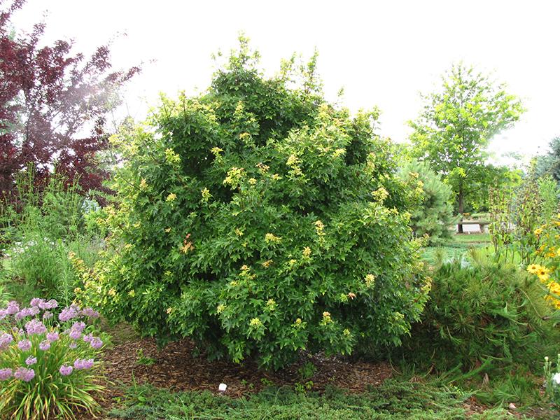Postelense Hedge Maple Acer Campestre Postelense In Frankfort