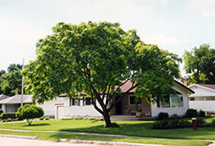Butternut (Juglans cinerea) at Alsip Home and Nursery
