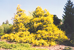 Gold Spangle Falsecypress (Chamaecyparis pisifera 'Gold Spangle') at Alsip Home and Nursery