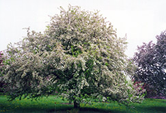 Arnold Flowering Crab (Malus x arnoldiana) at Alsip Home and Nursery