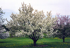 Zumi Flowering Crab (Malus x zumi) at Alsip Home and Nursery