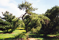 Japanese Red Pine (Pinus densiflora) at Alsip Home and Nursery