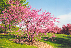 Northern Strain Redbud (Cercis canadensis 'Northern Strain') at Alsip Home and Nursery