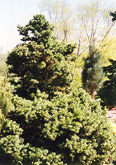 Green Globe Alpine Fir (Abies lasiocarpa 'Green Globe') at Alsip Home and Nursery