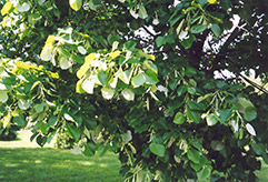 Silver Linden (Tilia tomentosa) at Alsip Home and Nursery