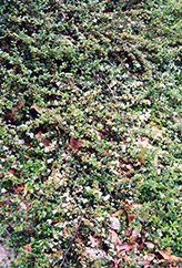 Spreading Cotoneaster (Cotoneaster divaricatus) at Alsip Home and Nursery