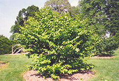 Common Witchhazel (Hamamelis virginiana) at Alsip Home and Nursery