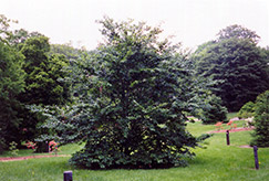 American Beech (Fagus grandifolia) at Alsip Home and Nursery