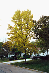 Northern Treasure Hybrid Ash (Fraxinus 'Northern Treasure') at Alsip Home and Nursery