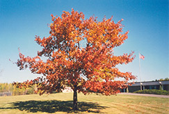 Red Oak (Quercus rubra) at Alsip Home and Nursery
