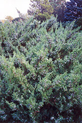 Maney Juniper (Juniperus chinensis 'Maney') at Alsip Home and Nursery