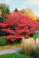 Shadblow Serviceberry (Amelanchier canadensis) at Alsip Home and Nursery