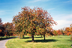 Oakleaf Mountain Ash (Sorbus x hybrida) at Alsip Home and Nursery