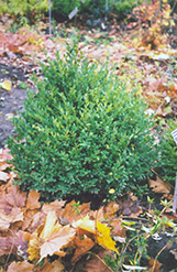 Alyce Boxwood (Buxus sempervirens 'Alyce') at Alsip Home and Nursery
