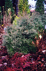 Heatherbun Whitecedar (Chamaecyparis thyoides 'Heatherbun') at Alsip Home and Nursery