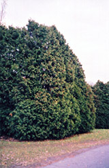 Oriental Arborvitae (Thuja orientalis) at Alsip Home and Nursery