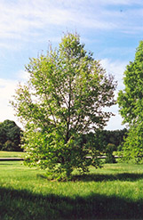 Turkey Oak (Quercus cerris) at Alsip Home and Nursery