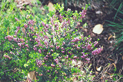 Furzey Heath (Erica carnea 'Furzey') at Alsip Home and Nursery