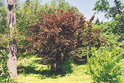 Purple Giant Hazelnut (Corylus maxima 'Purpurea') at Alsip Home and Nursery