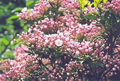 Miniature Mountain Laurel (Kalmia latifolia 'Myrtifolia') at Alsip Home and Nursery
