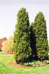 Eastern Redcedar (Juniperus virginiana) at Alsip Home and Nursery
