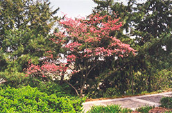 Red Giant Flowering Dogwood (Cornus florida 'Red Giant') at Alsip Home and Nursery