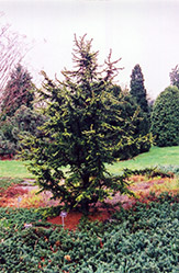 Green Prince Cedar of Lebanon (Cedrus libani 'Green Prince') at Alsip Home and Nursery