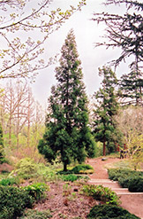 Japanese Cedar (Cryptomeria japonica) at Alsip Home and Nursery