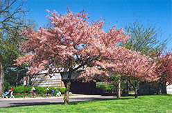 Akebono Yoshino Cherry (Prunus x yedoensis 'Akebono') at Alsip Home and Nursery