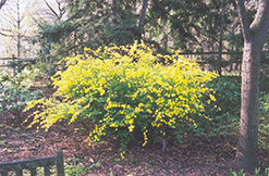 Japanese Kerria (Kerria japonica) at Alsip Home and Nursery
