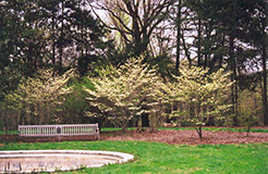 Barton Flowering Dogwood (Cornus florida 'Barton') at Alsip Home and Nursery
