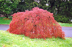 Weeping Japanese Maple (Acer palmatum 'Pendulum') at Alsip Home and Nursery