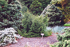 Creeping Oriental Spruce (Picea orientalis 'Repens') at Alsip Home and Nursery
