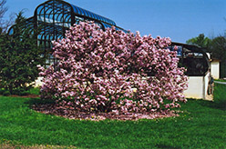 Pinkie Magnolia (Magnolia 'Pinkie') at Alsip Home and Nursery
