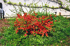 Common Flowering Quince (Chaenomeles speciosa) at Alsip Home and Nursery