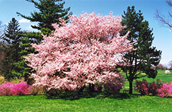 Accolade Flowering Cherry (Prunus 'Accolade') at Alsip Home and Nursery