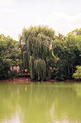 Wisconsin Weeping Willow (Salix x pendulina 'Wisconsin') at Alsip Home and Nursery