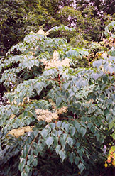 Hercules Club (Aralia spinosa) at Alsip Home and Nursery