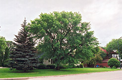 Siberian Elm (Ulmus pumila) at Alsip Home and Nursery