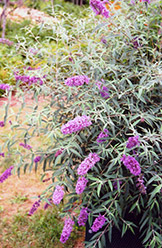Charming Butterfly Bush (Buddleia davidii 'Charming') at Alsip Home and Nursery