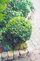 Korean Boxwood (Buxus microphylla 'var. koreana') at Alsip Home and Nursery