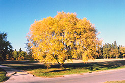 Boxelder (Acer negundo) at Alsip Home and Nursery