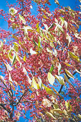 Maack's Spindle Tree (Euonymus hamiltonianus) at Alsip Home and Nursery