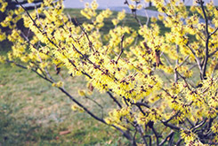 Primrose Witchhazel (Hamamelis x intermedia 'Primrose') at Alsip Home and Nursery