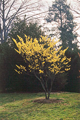 Winter Beauty Witchhazel (Hamamelis x intermedia 'Winter Beauty') at Alsip Home and Nursery
