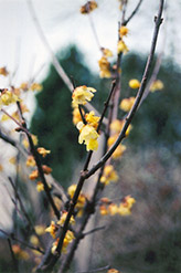 Fragrant Wintersweet (Chimonanthus praecox) at Alsip Home and Nursery