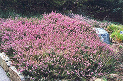 Springwood Pink Heath (Erica carnea 'Springwood Pink') at Alsip Home and Nursery
