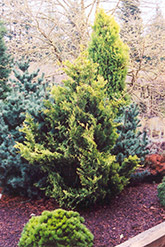 Golden Fairy Falsecypress (Chamaecyparis obtusa 'Golden Fairy') at Alsip Home and Nursery